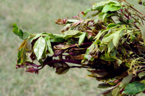 Khat Is Popular Across The Middle East, And Is One Of Many Dangerous Drugs Used To Fund Terrorist Activities