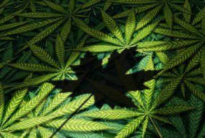 Marijuana Addiction In Canada Is Less Of A Concern Than Other Drugs, But It is Still A Major Problem