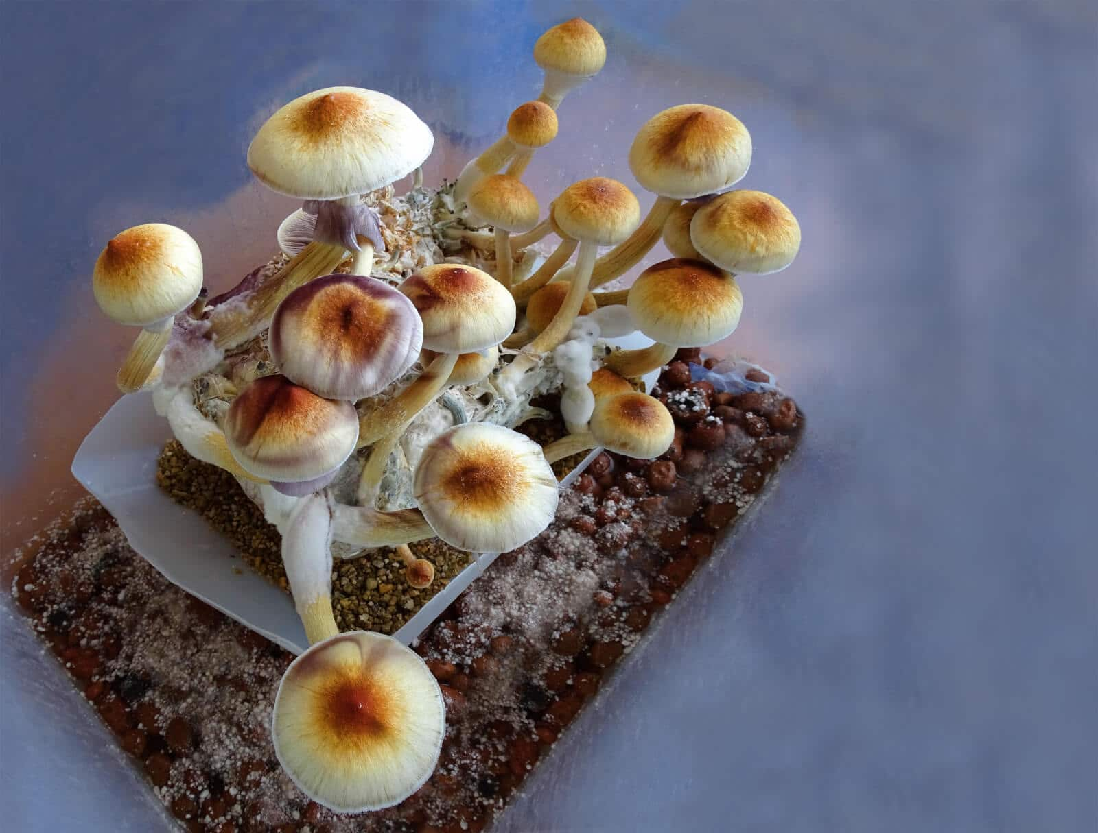 Thumnail photo of Denver First in Nation to Decriminalize Psilocybin Mushrooms