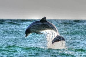 dolphin-assisted therapy is a benefit of luxury rehab.